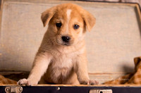 Adoption puppy, pet, dog, funny, silly, vintage case