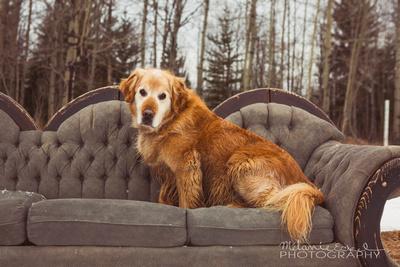 Pet portrait of a golden retriever Dog