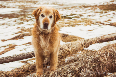 Pet portrait of a golden retriever Dog